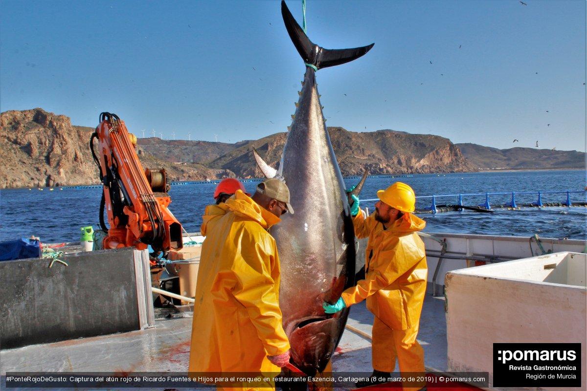 Espectacular captura de atún rojo de Ricardo Fuentes e Hijos en El Gorguel